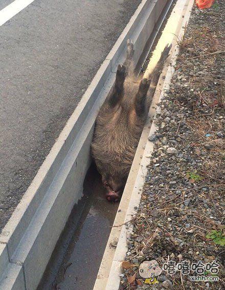 一小哥早起上山散步,猛地在路边发现一只野猪。。。又心疼又忍不住笑