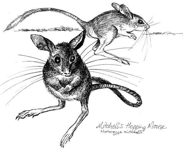 昆士兰毛鼻袋熊体重约25-28公斤,体长95-105公分,尾长可达5.5公分,因而形成某矮胖的体型,四肢粗短,前肢的趾头长,趾甲坚硬,常用以在地面挖洞筑巢;A头色有咖啡色毛茸所被覆;体毛长,呈绢毛状,外耳长,其尖有白色长毛。 昆士兰毛鼻袋熊雄性体长在1米左右,身高约0.35米,体重约35公斤,雄性的体长和体重都要超过雌性一点,尾长0.