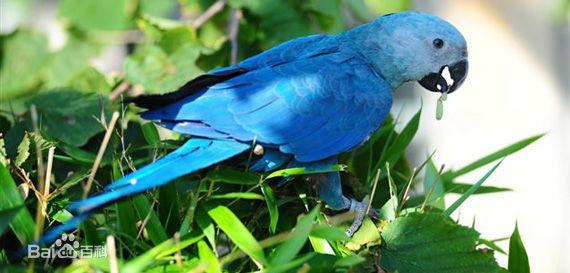 金刚鹦鹉 保护动物