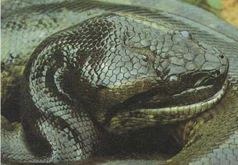 亚马逊森蚺(sēn rán)是当今世界上最大的蛇,最长可达十四米,重达二