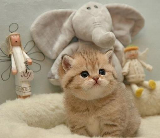 壁纸 动物 猫 猫咪 毛绒玩具 玩偶 小猫 桌面 510_441
