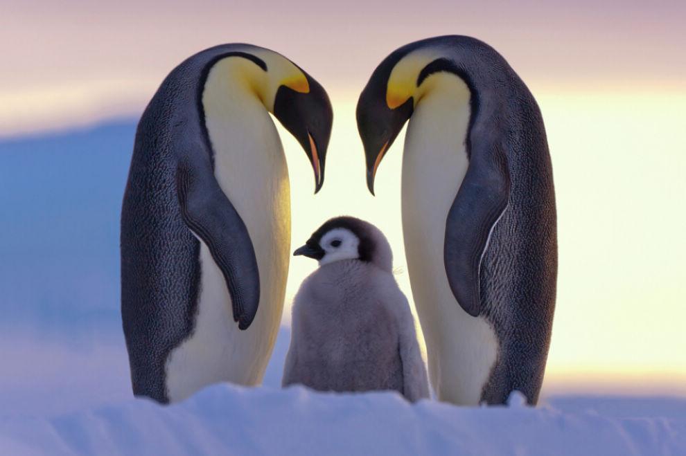 壁纸 动物 海报 企鹅 990_659
