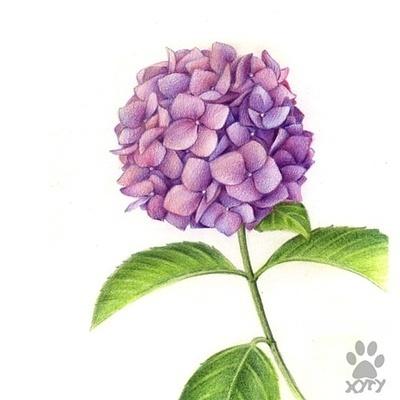 绣球花画法彩铅步骤