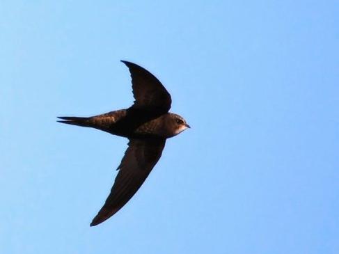 飞得最快的动物