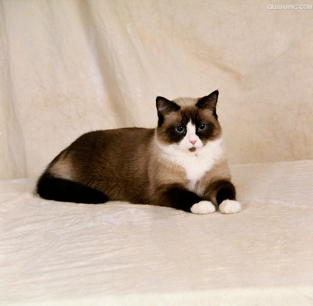 67.爪哇猫(Javanese) 产于美国,出现于1940年,皮毛裹着疲削的身体,尾端呈卷巧克力色。有着和东方型猫一样的性格特征,专一,像小狗一样喜欢尾随主人,而且很懂得怎样得到主人的宠爱。它们是优秀运动员和高超的猎手。毛发容易料理,而且它特别喜欢得到梳理。尽管名为爪哇,该品种并非起源于爪哇。在巴厘猫(半长毛暹罗猫)的育种过程中,美国育种专家们得到了一种半长毛的东方型猫,并根据其类型为之取名为爪哇猫。爪哇猫在欧洲依然非常罕见。价格:5000+【猫舍里是这个价,因为只有一家有这个品种,没法儿货比三家,