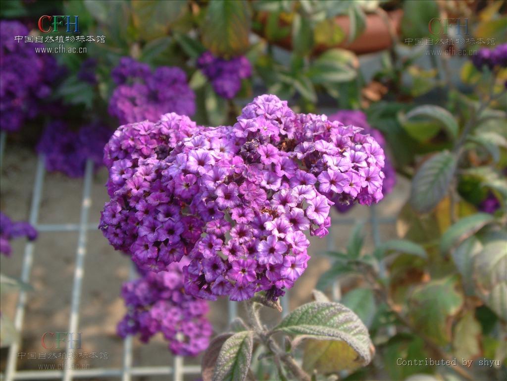 5月24日天芥菜(heliotrope)花语:永恒的爱
