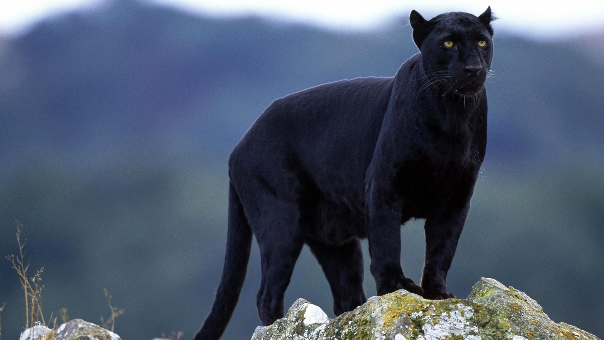 某些较小的猫科动物有时也被民间称为黑豹,比如黑色变异个体的金猫等.