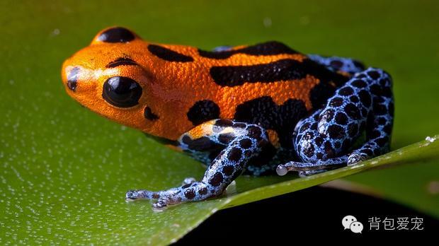 13、蓝环章鱼  如果你不小心踩了它,这种生活在太平洋海域的小动物可能会反咬你一口。这种小型章鱼通常生活在海边,因为身体上鲜艳的蓝环而得名。遇到危险时,身上和爪上深色的环就会发出耀眼的蓝光,向对方发出警告。它体内的毒液可以在数分钟内置人于死地,目前仍未有解毒的方法。人被这种章鱼蜇刺后几乎没有疼痛感,一个小时后,毒性才开始发作。