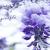 紫罗兰violet.